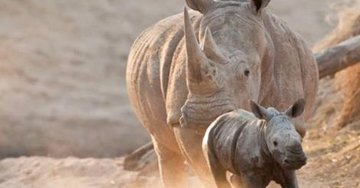 FOREVERMARK SUPPORTS RHINO RESCUE IN BOTSWANA